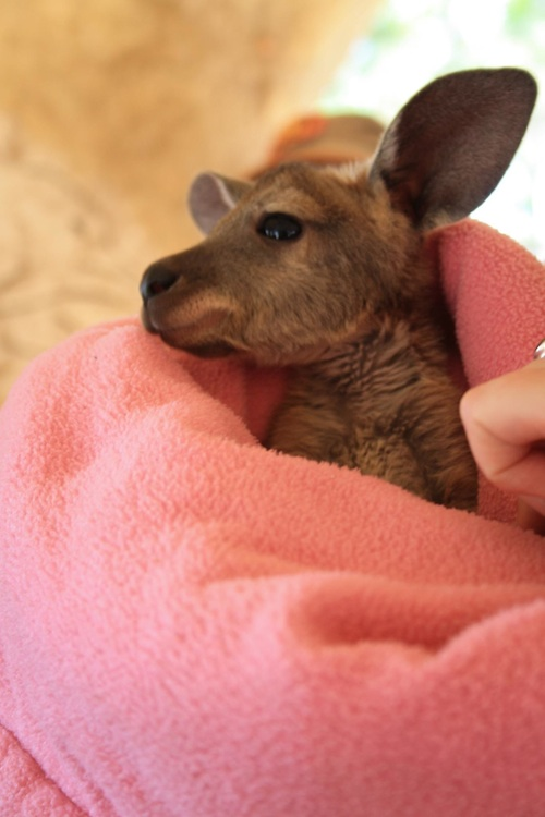 Little Joey Australia