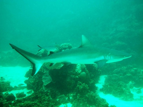 Requin Coral Bay Australie